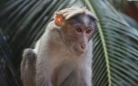 Monkey [3] wallpaper 2560x1600 jpg