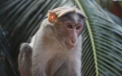 Monkey [3] wallpaper