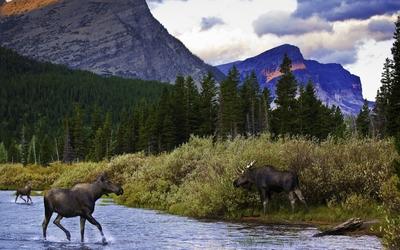 Moose in the mountain lake wallpaper