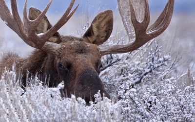 Moose in the snowy grass wallpaper