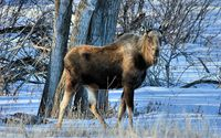 Moose in the winter forest wallpaper 1920x1200 jpg