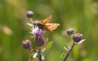 Moth on a thistle wallpaper 2560x1600 jpg