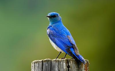 Mountain Bluebird wallpaper
