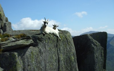 Mountain goats wallpaper