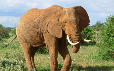 Muddy elephant wallpaper