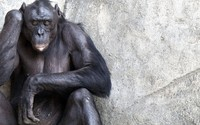 Mused chimpanzee leaning on a stone wall wallpaper 2880x1800 jpg