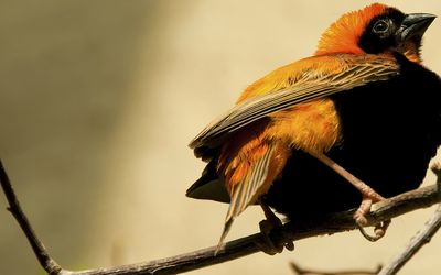 Northern Red Bishop wallpaper