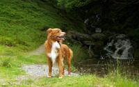 Nova Scotia Duck Tolling Retriever by the river wallpaper 1920x1200 jpg
