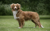 Nova Scotia Duck Tolling Retriever on a green field wallpaper 1920x1200 jpg