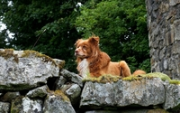Nova Scotia Duck Tolling Retriever on mossy rock wallpaper 2560x1600 jpg