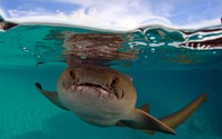 Nurse shark wallpaper 1920x1200 jpg