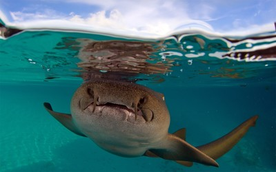 Nurse shark wallpaper