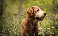 Old dog in the forest wallpaper 1920x1200 jpg
