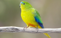 Orange-bellied parrot wallpaper 1920x1080 jpg