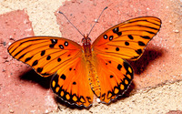 Orange Butterfly [3] wallpaper 2880x1800 jpg