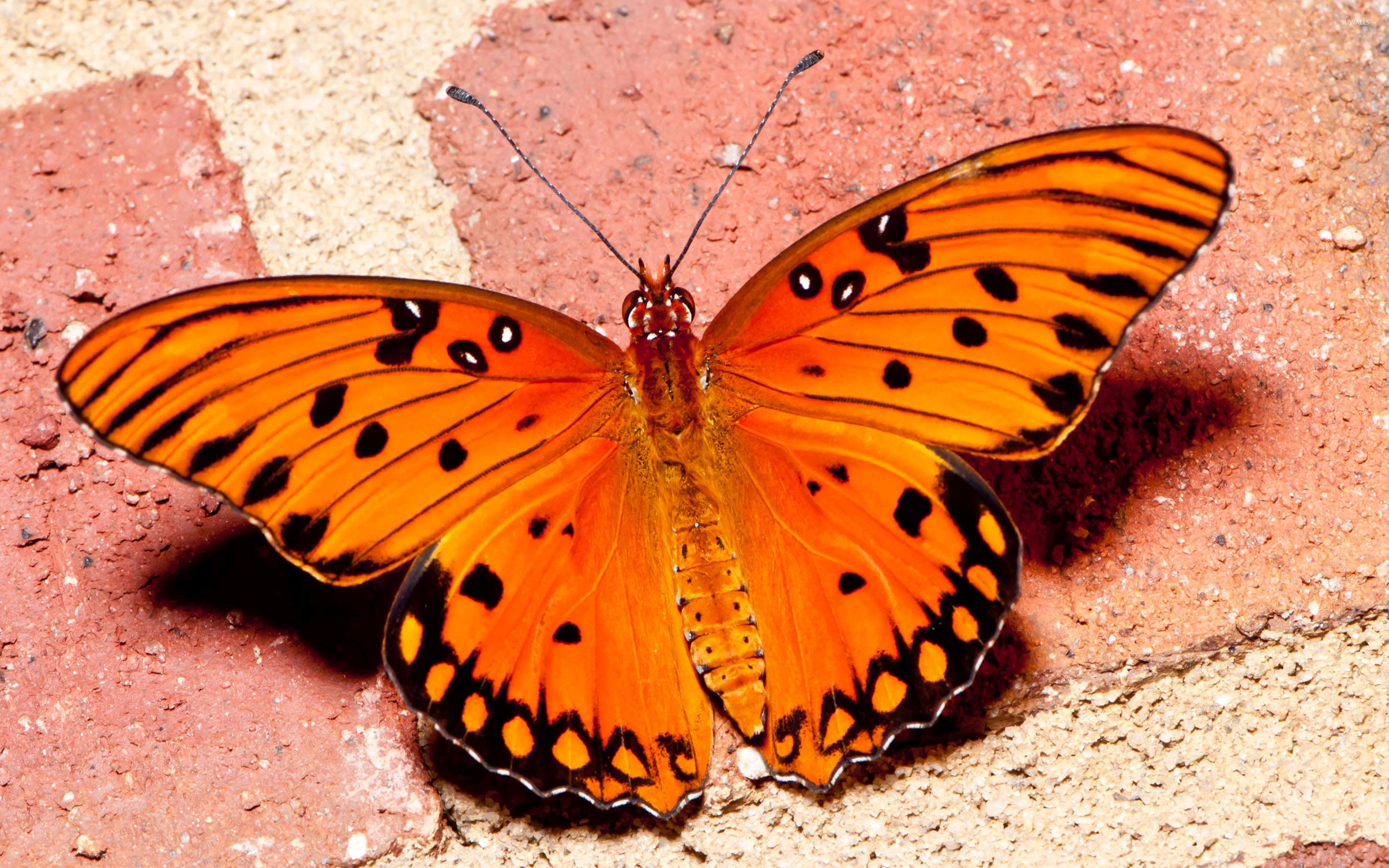 orange butterfly 3 wallpaper -#main