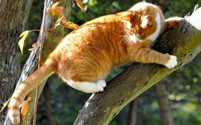 Orange cat holding to a tree branch wallpaper
