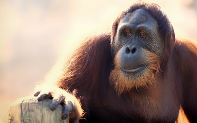 Orangutan gazing in the distance wallpaper
