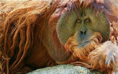 Orangutan resting on the rock wallpaper