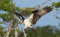 Osprey wallpaper 1920x1200 jpg