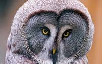 Owl [9] wallpaper 1920x1200 jpg
