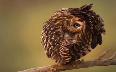 Owl [12] wallpaper