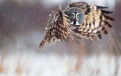 Owl [4] wallpaper