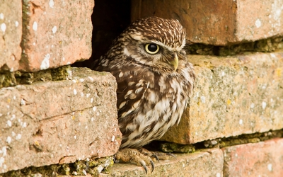 Owl at the old brick wall wallpaper