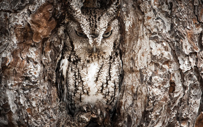 Owl camouflaged in a tree hollow wallpaper