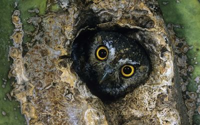 Owl hiding in the branch wallpaper