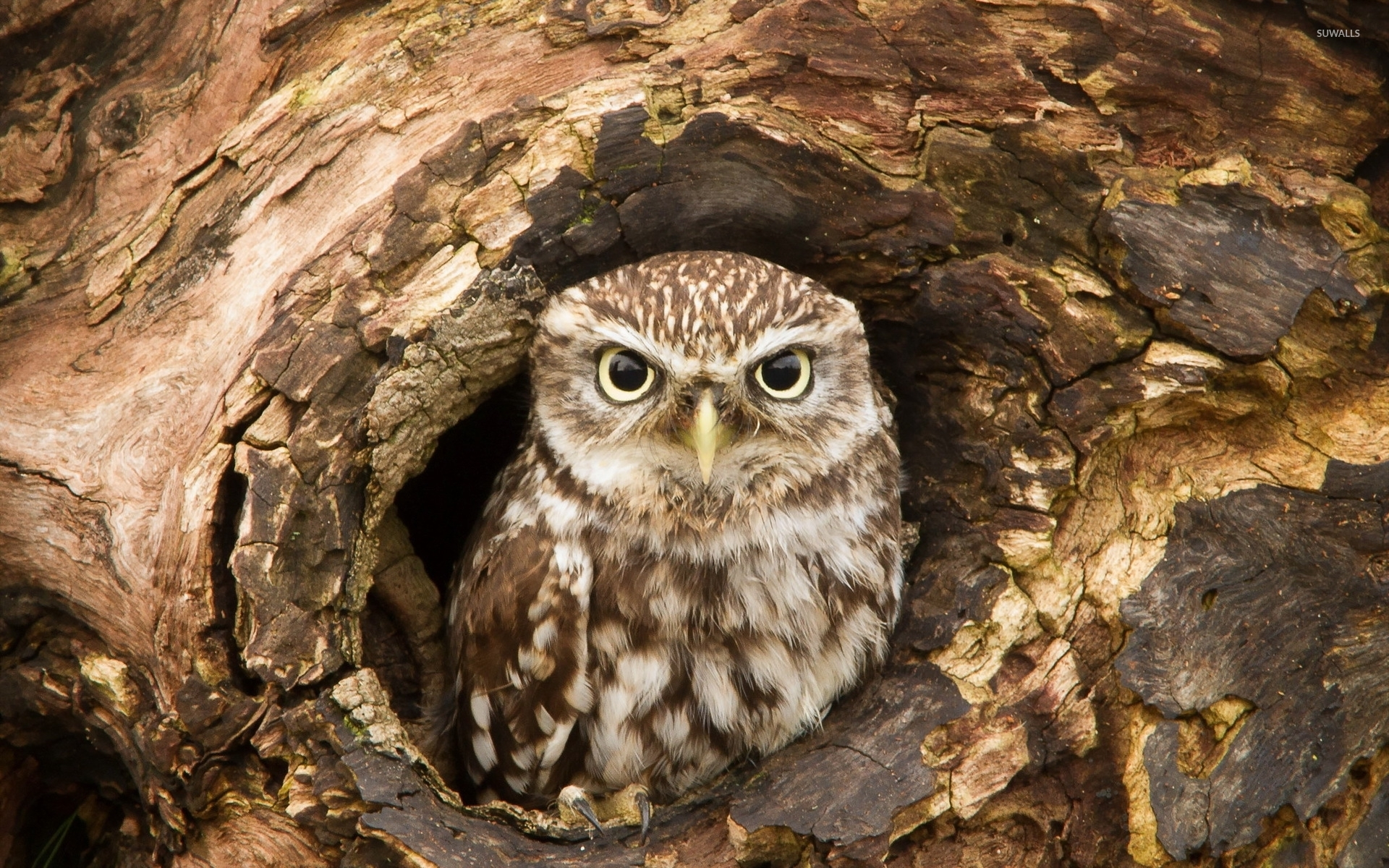 owl in a tree hollow wallpaper wallpapers 47580