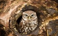 Owl in a tree hollow wallpaper 1920x1200 jpg