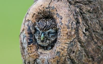 Owl sleeping in a tree hollow wallpaper