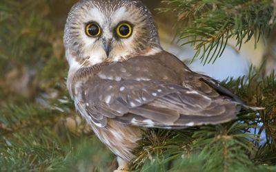 Owlet in a pine tree wallpaper