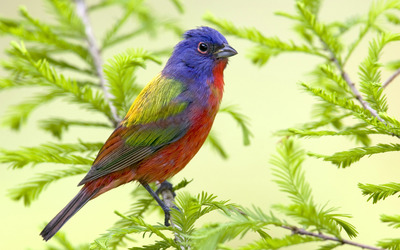 Painted Bunting wallpaper