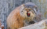 Pallas's cat wallpaper 1920x1200 jpg