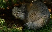Pallas's cat [3] wallpaper 1920x1200 jpg