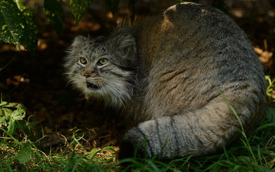 Pallas's cat [3] wallpaper