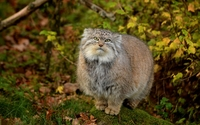 Pallas's cat [2] wallpaper 1920x1200 jpg