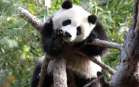Panda [2] wallpaper 1920x1200 jpg