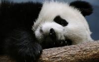 Panda [3] wallpaper 2560x1600 jpg