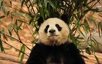 Panda [6] wallpaper 1920x1200 jpg
