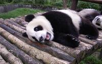 Panda [7] wallpaper 1920x1200 jpg