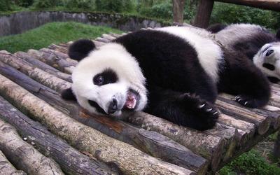 Panda [7] wallpaper
