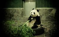Panda [5] wallpaper 1920x1200 jpg