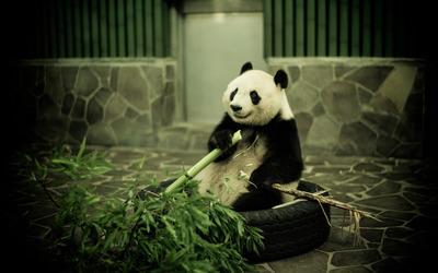 Panda [5] wallpaper