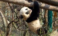 Panda [8] wallpaper 1920x1200 jpg