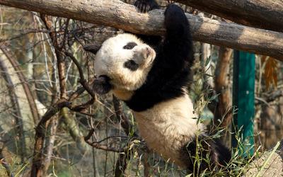 Panda [8] wallpaper