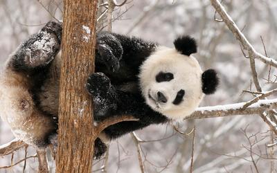 Panda Bear [2] wallpaper