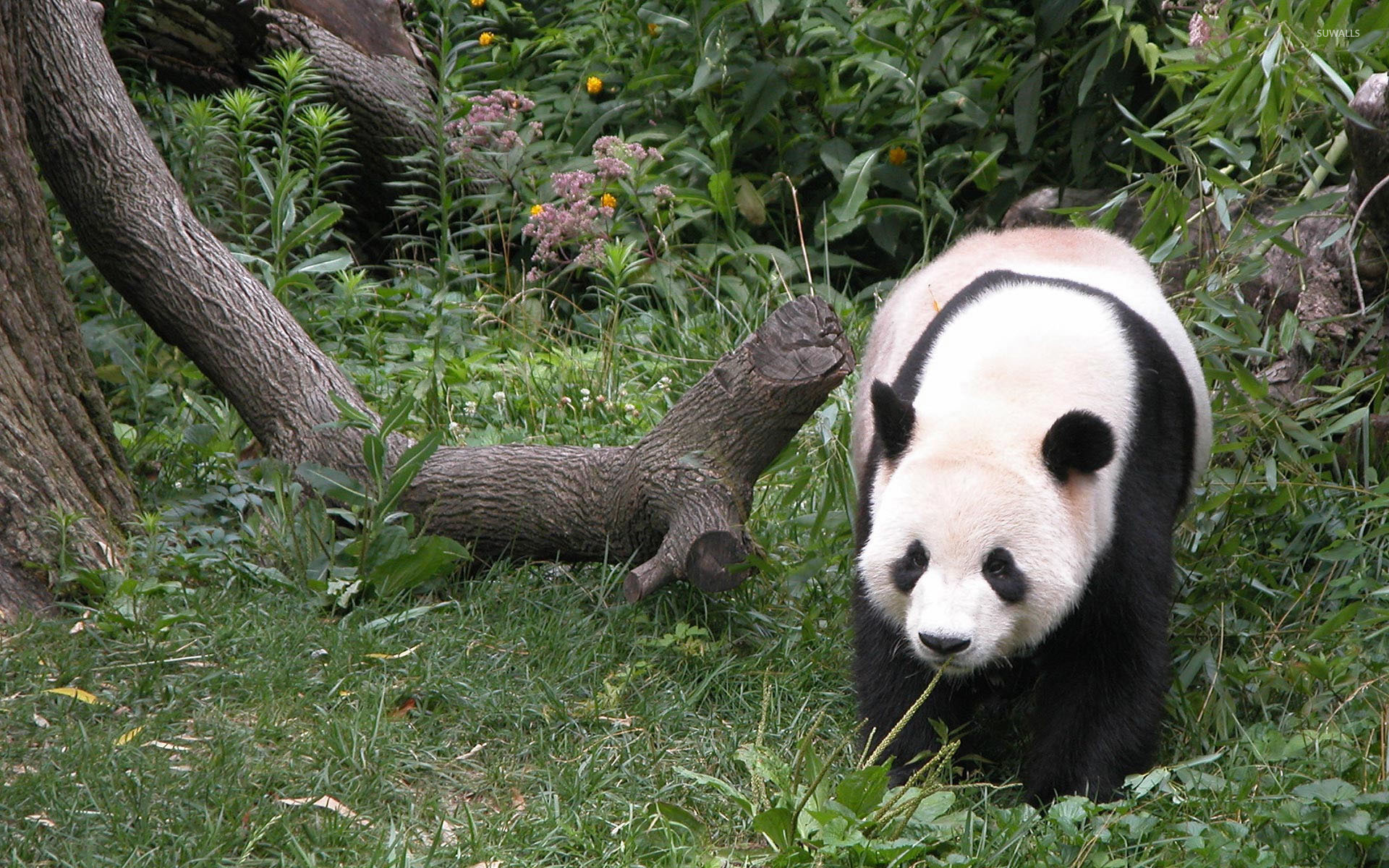 Panda Bear wallpaper - Animal